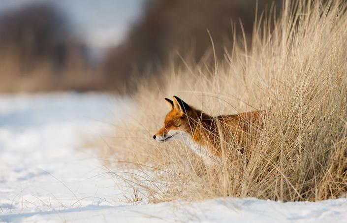 Agria lyssnade till jaktmotståndare och hoppar av sponsring av Räv-SM. Foto: Istock.