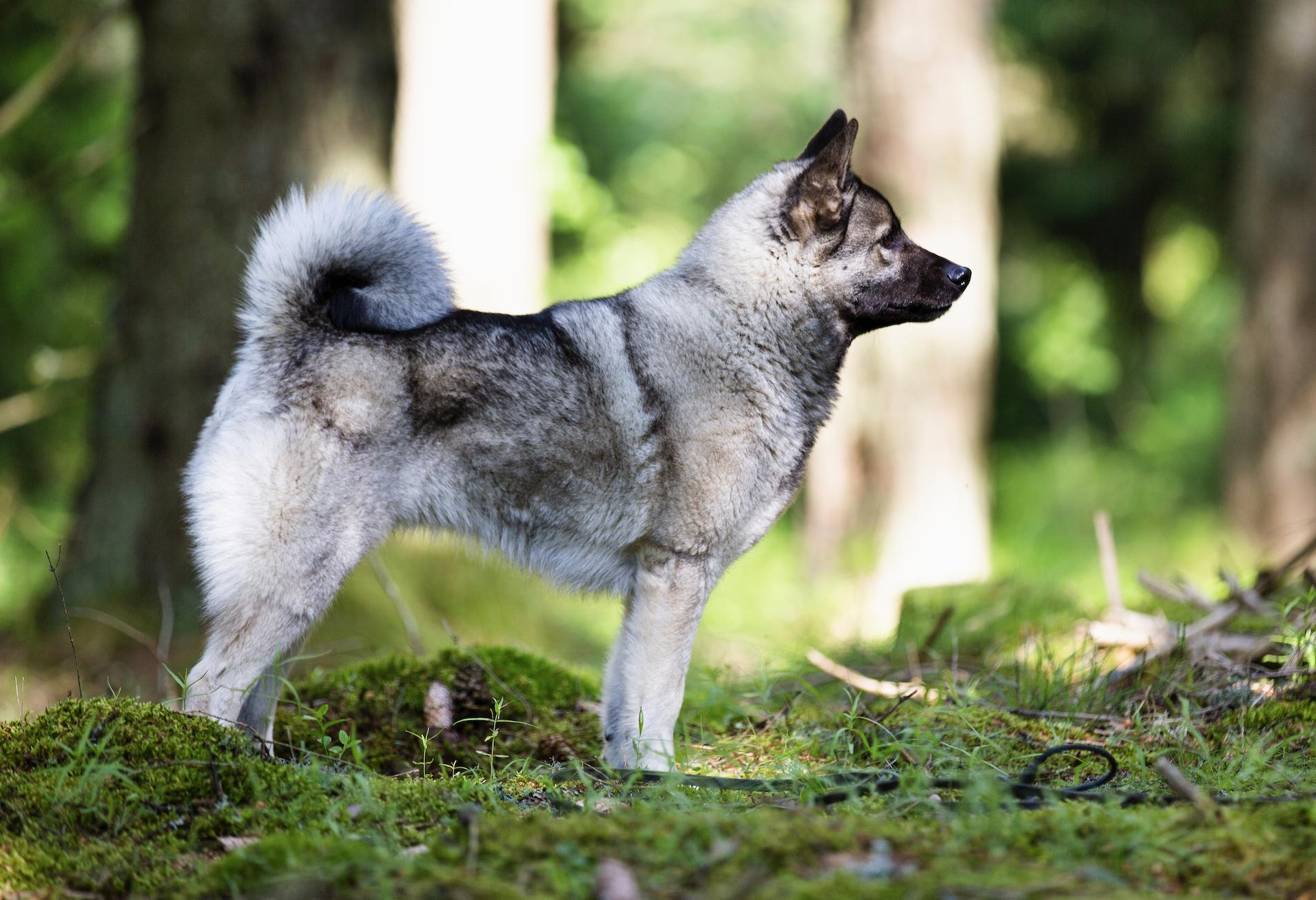 Ammi har allt – jaktlust och exteriör.