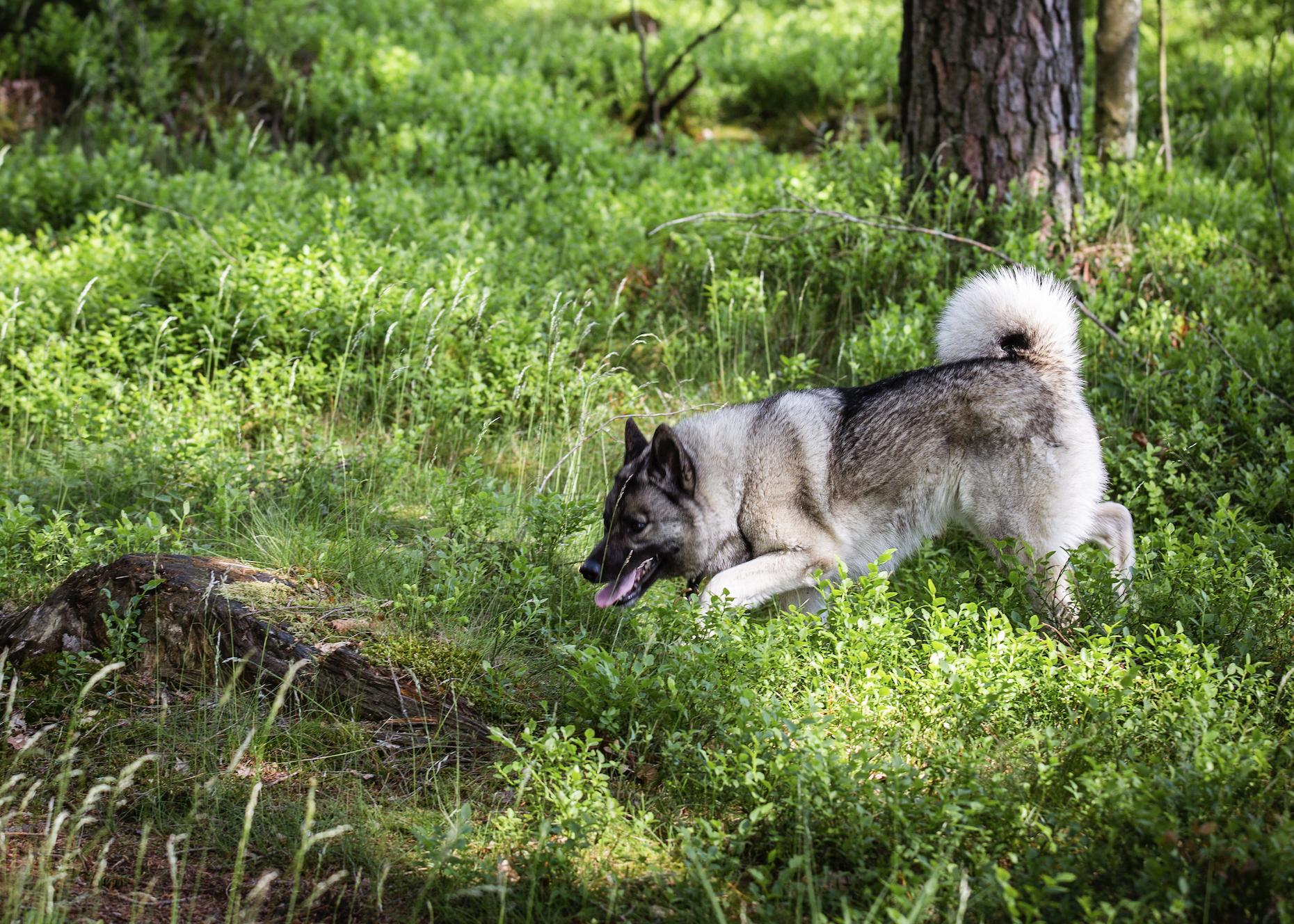 Ammis sök är effektivt och hon tar upp älg både i vind och på spår. Oftast med stånd i upptaget.