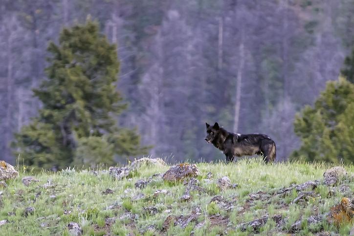 Vargens återintroduktion i Yellowstone gav intrycket av att en svensk vargstam skulle kunna ändra floder.