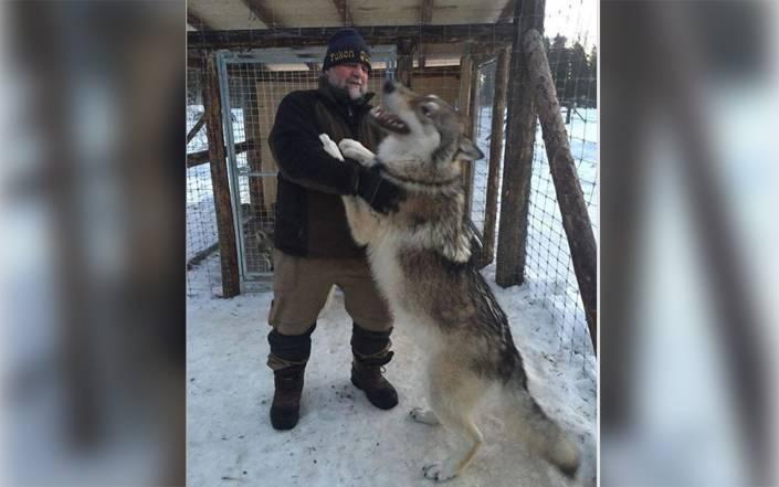 En av vargarna i hägnet i Dalarna. Vid fototillfället ska den varit 9 månader gammal och vägt 80 kilo. Foto: Detlef Herche/Facebook