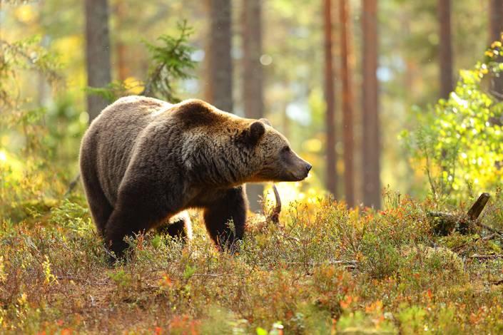 Tio färre björnar får fällas i årets björnjakt i Västernorrland. Det är för få menar jägareförbundet. Foto: Gettyimages