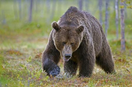 100 björnar får fällas i årets licensjakt i Jämtland. Björn Foto: L-G Abrahamsson