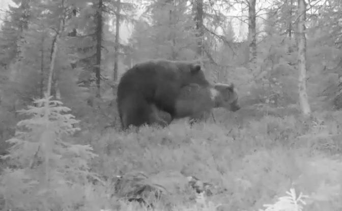 En björnparning Västerbotten fastnade på video under förra veckan.
