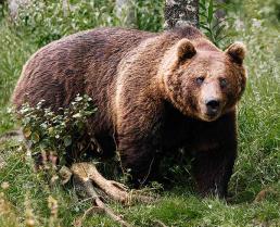 Från 45 till 35. Så förändras björnkvoten i år.
