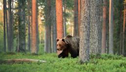 Licensjakten för björn i Värmland 2020 är nu beslutad. Foto: Getty Images