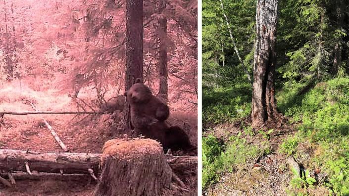 Med lite vanlig tjätjära på ett träd skapar du ett riktigt björnspa. Foto: Per Andersson