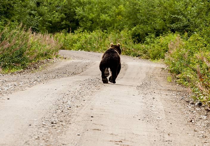 Björnar ska enligt tips till norska myndigheter ha jagats över norsksvenskagränsen för att skjutas vid skyddsjakt i Sverige. Polisen i Norge utreder händelsen. Foto: Istock.