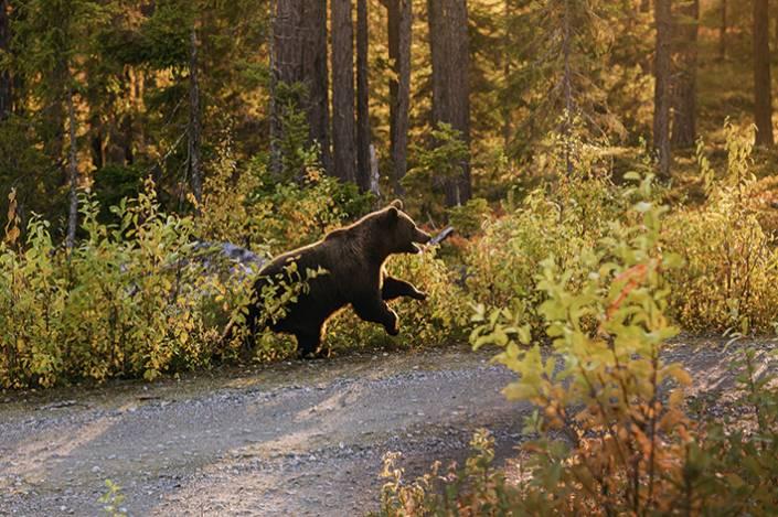 25 björnar får fällas i Västerbotten när björnjakten startar den 21 augusti. Foto: Roger C Åström.